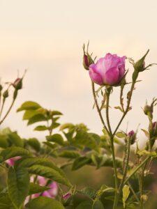 A GRASSE RACCOLGONO LE ROSE DI MAGGIO PER CHANEL N°5